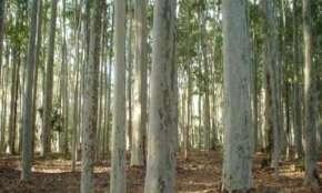 Guaraniaçu - Vende-se sítio com mais de 16 mil pés de eucaliptos