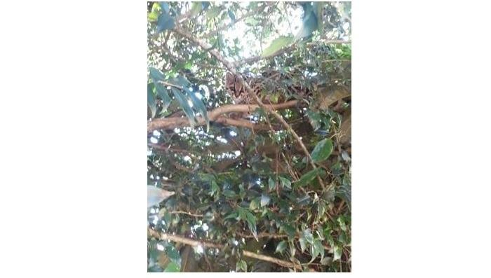 Ibema - Jaguatirica aparece em residência e chama atenção de moradores